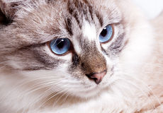 Young blue-eyed cat Royalty Free Stock Photos
