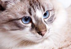 Young blue-eyed cat. Closeup..Neva Masquerade cat Royalty Free Stock Photos