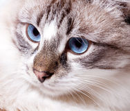 Young blue-eyed cat Stock Photography