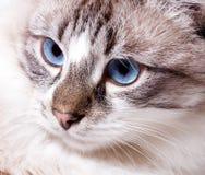 Young blue-eyed cat. Closeup..Neva Masquerade cat Stock Photography