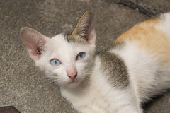 Young blue-eyed cat. Lying on the ground and looking directly at the camera Stock Photography