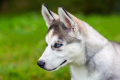 Young blue eyed husky dog sits on grass Royalty Free Stock Images