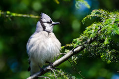 Young Blue Jay All Puffed Up Stock Photo