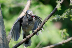 Young Blue Jay Begging To Be Fed Royalty Free Stock Photos