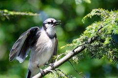 Young Blue Jay Calling Out To be Fed. From an Evergreen Tree Royalty Free Stock Images