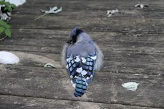 Young blue jay on deck royalty free stock photography