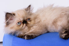 Young Blue Point Himalayan Persian kitten Stock Photo