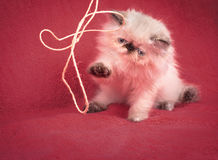 Young Blue Point Himalayan Persian kitten Royalty Free Stock Image