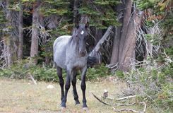 Young Blue Roan Stallion wild horse mustang on Sykes Ridge in the Pryor Mountains wild horse range in Montana USA Royalty Free Stock Photos