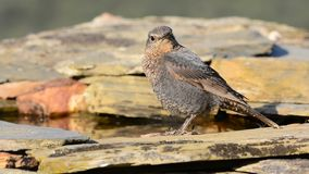 Young Blue Rock Thrush stock video