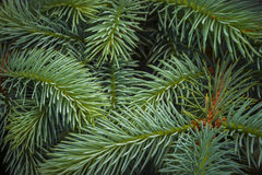 Young blue spruce branches Royalty Free Stock Photos