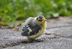 Young blue tit Stock Image