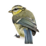 Young Blue Tit, Cyanistes caeruleus, Stock Images