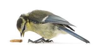 Young Blue Tit, Cyanistes caeruleus. With worm in front of white background Royalty Free Stock Photography