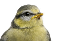 Young Blue Tit, Cyanistes caeruleus, 23 days old