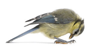 Young Blue Tit, Cyanistes caeruleus, looking down. In front of white background Stock Photo