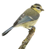 Young Blue Tit, Cyanistes caeruleus, perched Stock Images