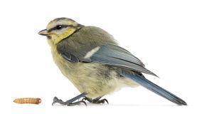 Young Blue Tit, Cyanistes caeruleus, with worm Royalty Free Stock Photos