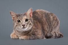 Young blue tortoise domestic cat on gray background Stock Photo