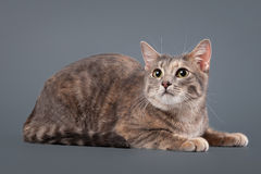 Young blue tortoise domestic cat on gray background Stock Photos