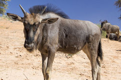 Young Blue Wildebeest Royalty Free Stock Image