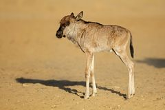 Blue wildebeest calf - Kalahari desert Royalty Free Stock Photos