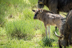 Young Blue wildebeest calf in between the herd. Stock Image