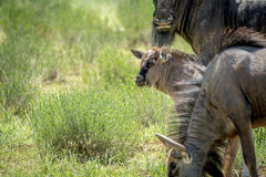 Young Blue wildebeest calf in between the herd. Stock Photos