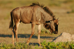 Young blue wildebeest, Etosha park, Namibia Royalty Free Stock Photos