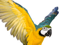 Young Blue-and-yellow Macaw Royalty Free Stock Photography