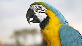 Young Blue-and-yellow Macaw - Ara ararauna Royalty Free Stock Photo