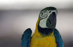 Young blue and yellow macaw Royalty Free Stock Images