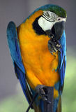 Young blue and yellow macaw Royalty Free Stock Image