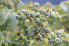 Young blueberry fruit ripening on a branch Royalty Free Stock Photography