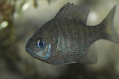 Young Bluegill Royalty Free Stock Images
