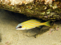 Young bluestripe snapper Stock Image