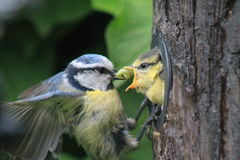 Young bluetit. A young bluetit feeded by his adult parent with a caterpillar Stock Photography