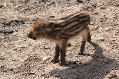 Young boar Royalty Free Stock Image