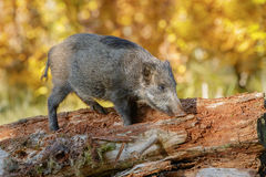 Young boar climbing. Young wild boar climbs onto a rotting tree to find insect grubs Stock Photography