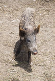 Young boar Royalty Free Stock Photos