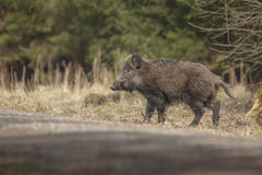 Young boar crossing a forest trail Stock Photography