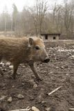 Young boar feral pig youngen rookie in organic petting farm stock photo