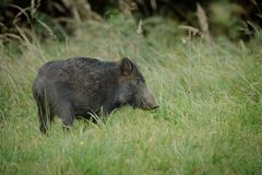 Young boar foraging Royalty Free Stock Photography