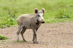Young boar Stock Photo
