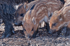 Young Boar searching for food Royalty Free Stock Photo