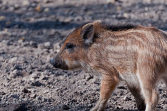 Young Boar searching for food Royalty Free Stock Images