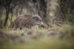 Young boar. A young wild boar races to catch up to his mother Stock Photo