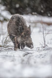 Young boar in winter snow flurry Royalty Free Stock Images
