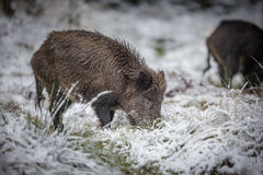Young boar in winter Royalty Free Stock Photography