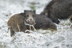 Young boar in winter Royalty Free Stock Image